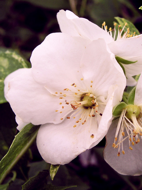 "SHRUB 6-8' Mock Orange. Wonderfully fragrant white flowers. Any soil.  4"" pot"