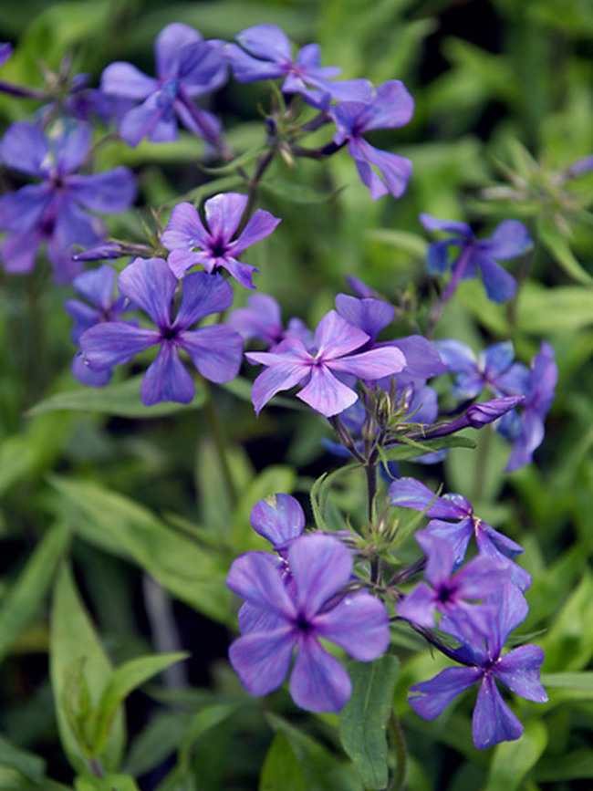 Phlox Louisiana-Blue