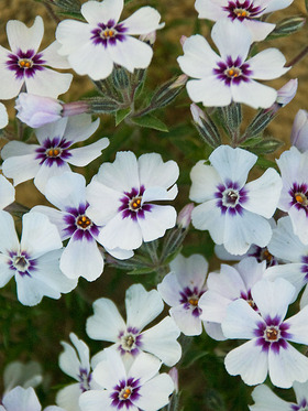 White starry flowers graced with a charming purple eye