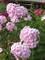 Phlox Thai Pink Jade