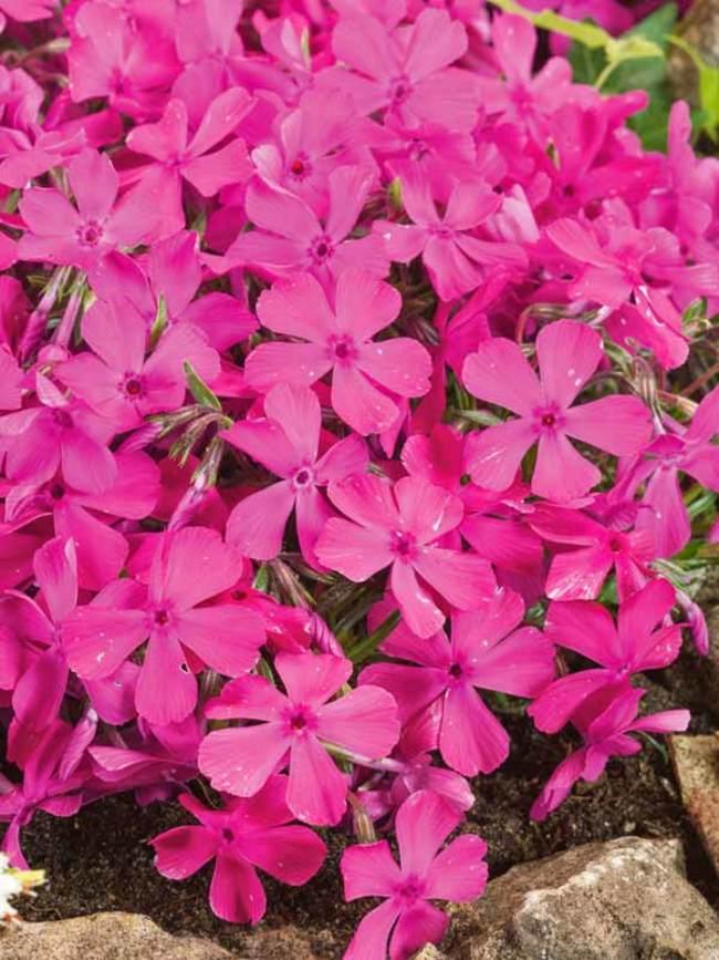 Phlox sub. Drummonds Pink