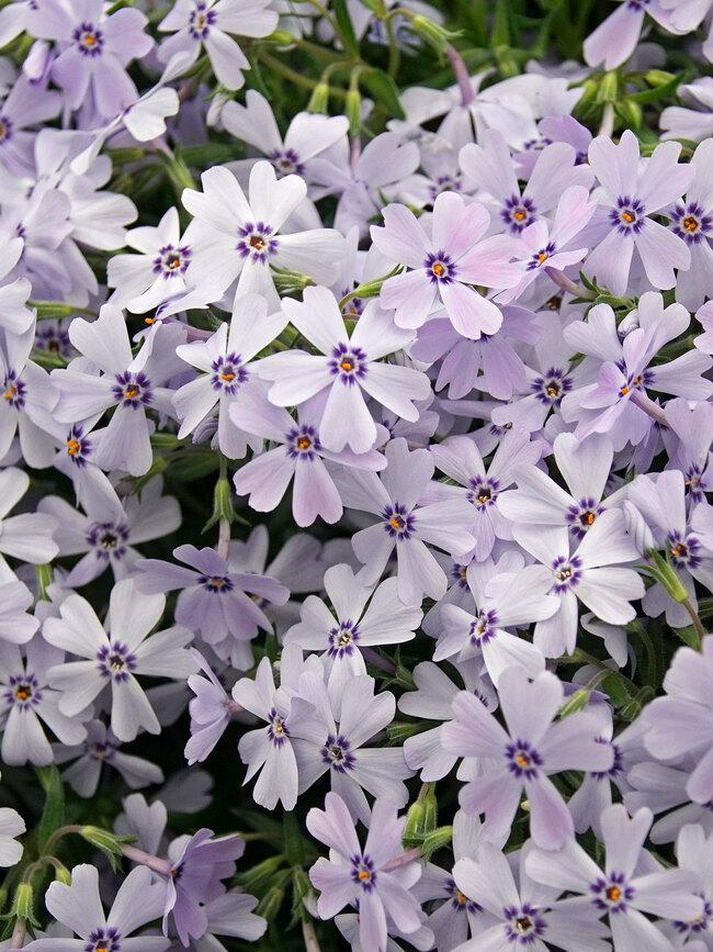Phlox Spring Blue