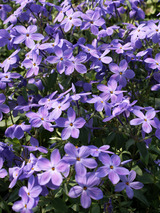 Phlox Sherwood Purple