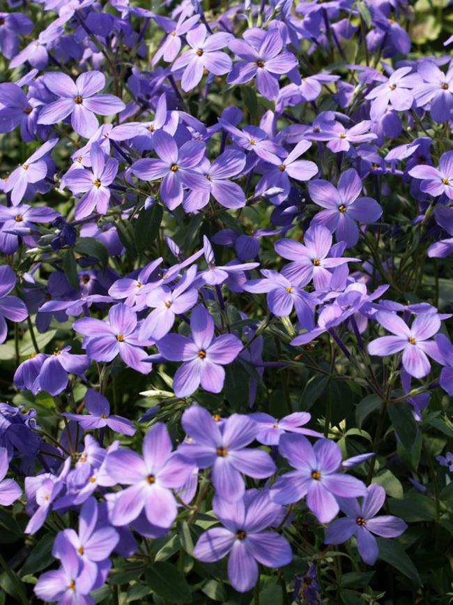 Phlox Sherwood-Purple