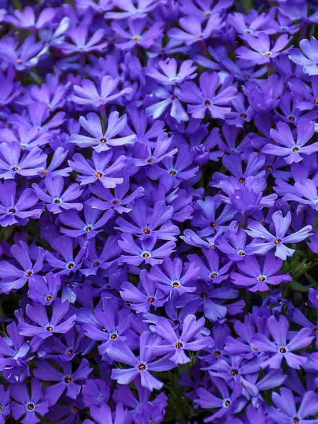 Phlox Violet Pinwheels