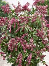 Pieris Passion