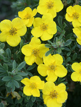 Potentilla Happy Face Yellow