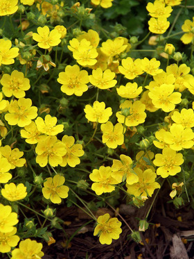 Evergreen mat of scented leaves. Buttercup flowers in spring