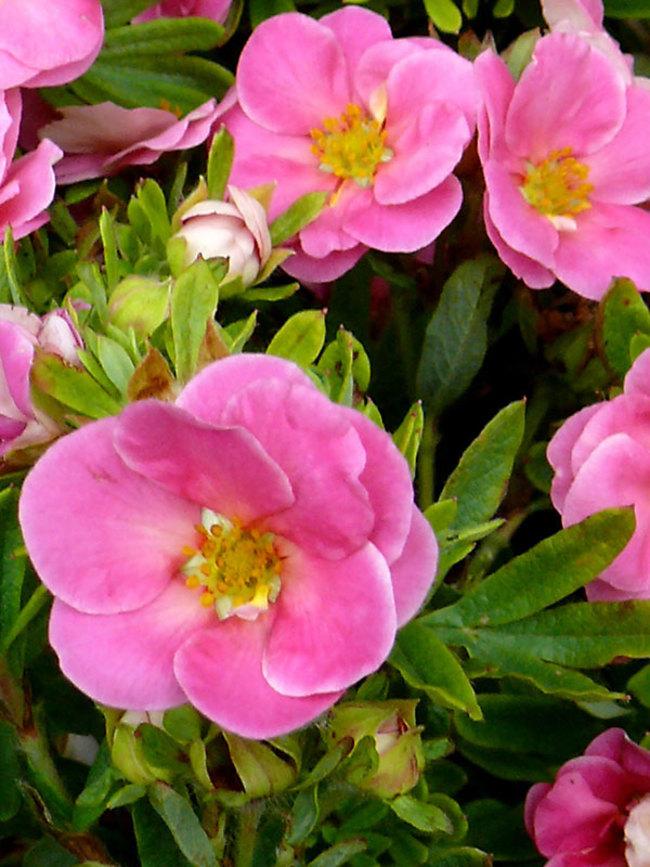 Potentilla Happy Face Pink