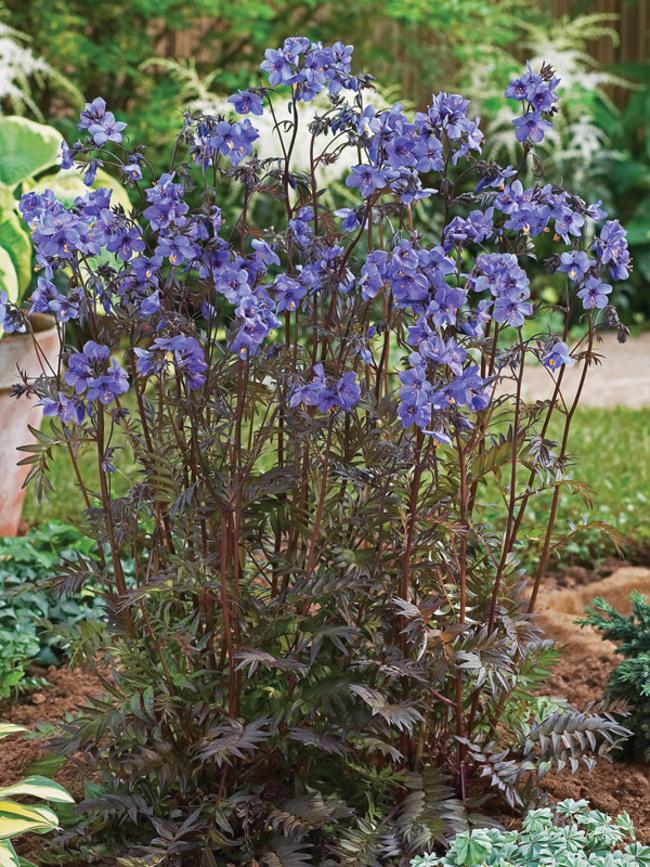 Polemonium Purple-Rain