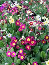 Polyanthus SuperNova Mix