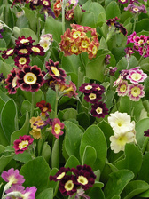 Primula Alpina Mix