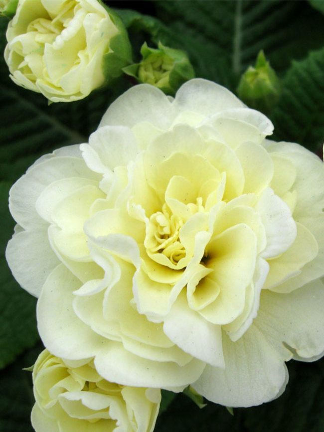 Primula Belarina Cream
