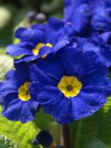 Primula You and Me Blue