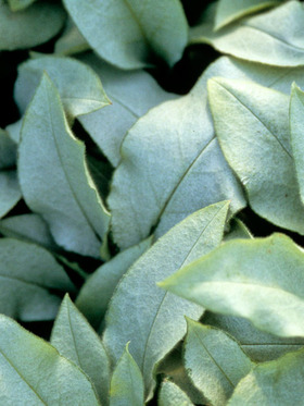 Heavily silver blotched leaves