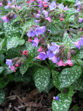Bright pink flowers turn blue as they mature
