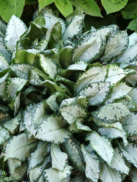 Pulmonaria Moonshine Bluestone Perennials