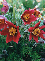 Pulsatilla Red