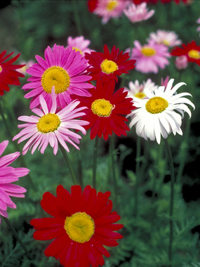 Chrysanthemum coccineum. PAINTED DAISY