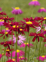 Pyrethrum Robinson's Red