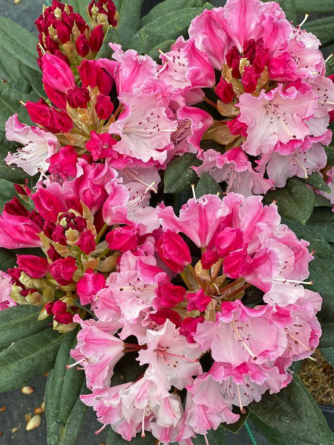 Rhododendron Dandy Man Color Wheel