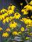 Rudbeckia Autumn Sun
