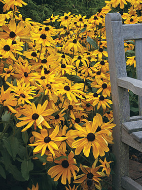 One of the best perennials in your garden