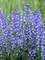 Salvia Azure Snow