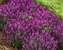 Salvia Bumbleberry