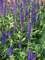 Salvia Lyrical Blues