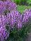 Salvia Lilac Lipstick