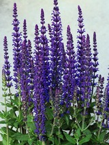 Salvia Merleau Blue