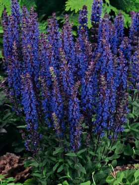 Intense flowers in deepest violet blue
