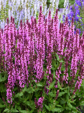 Photo of Salvia Pink Profusion