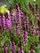 Salvia Pink Profusion