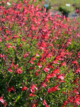Photo of Salvia Arctic Blaze Red