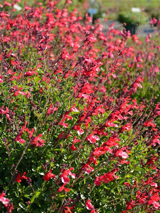 Salvia Arctic Blaze Red