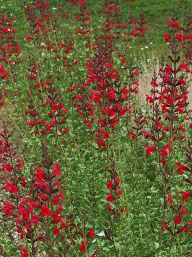 Salvia Windwalker Royal Red