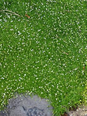 Sagina Subulata Bluestone Perennials