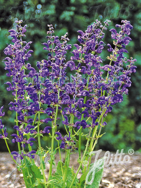 Deep violet-blue hooded flowers perfect for cutting