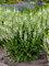 Salvia White Profusion