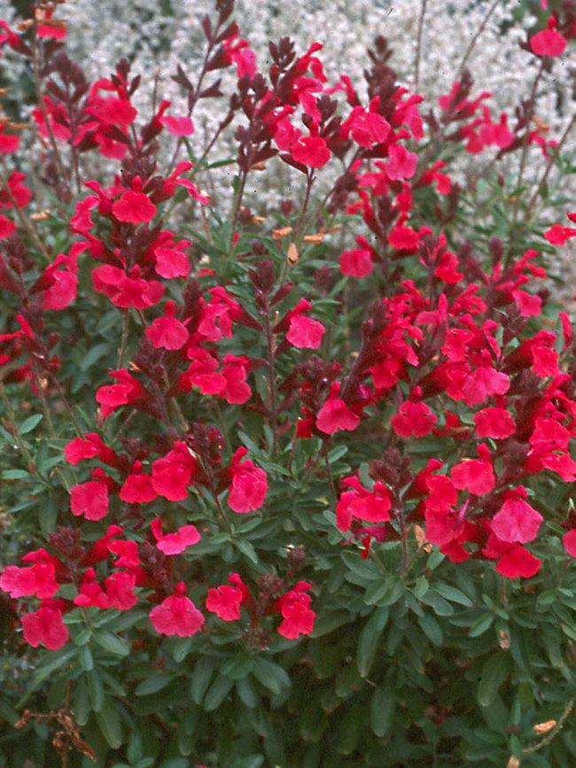 Salvia Wild-Thing