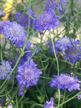 Multiple blue pin-cushion flowers.