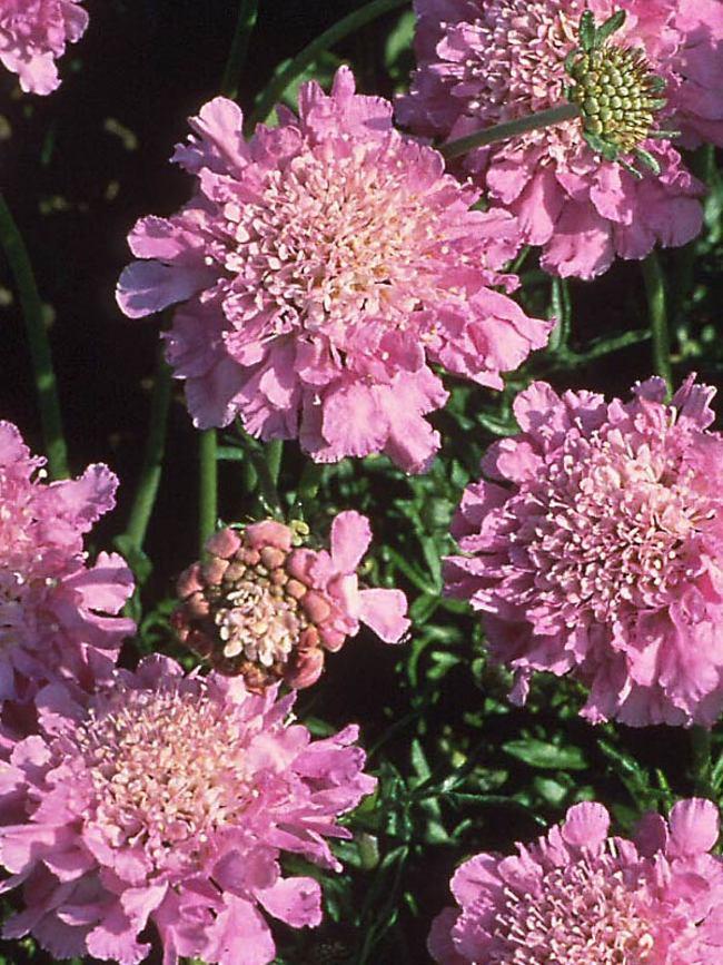 Scabiosa Pink-Mist