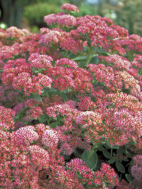 Turns brick red. Probably the most popular Sedum