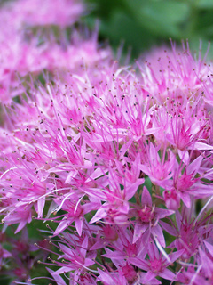 Perennials flowers perennials plants bluestone perennials sedum brilliant mightylinksfo