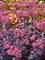 Sedum Cherry Truffle