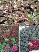 Sedum Collection Short