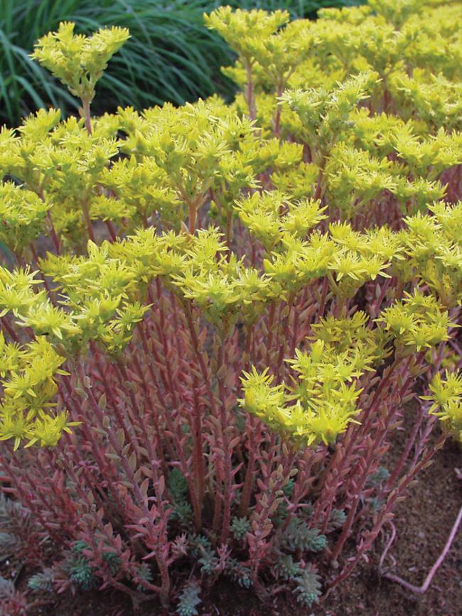 Sedum Blue-Spruce
