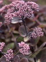 Sedum Turkish Delight